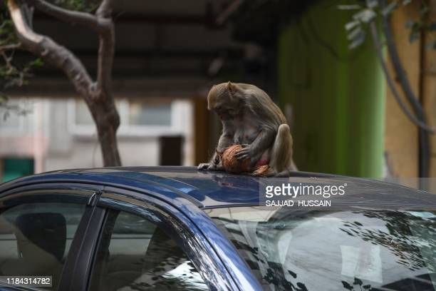 A monkey holds a coconut as he sits on a car in the street in New Delhi on November 24 2019