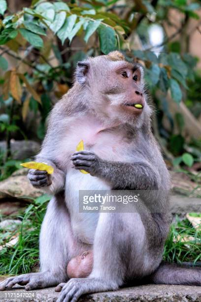 monkey in sacred monkey forest sanctuary of bali - mauro tandoi stock photos and pictures