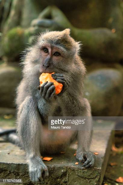 monkey in sacred monkey forest sanctuary, ubud, bali, indonesia - mauro tandoi foto e immagini stock