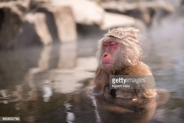 Monkey in snow monkey park, Nagano