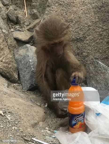 A monkey is seen with a beverage as Muslim Hajj pilgrims climb the Jabal alNour to visit Hira Cave during the annual Hajj pilgrimage in Mecca Saudi...