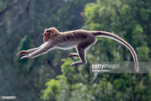 monkey jumping - mammal stock pictures, royalty-free photos & images