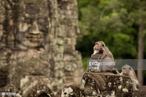 monkey kingdom - cambodia stock pictures, royalty-free photos & images
