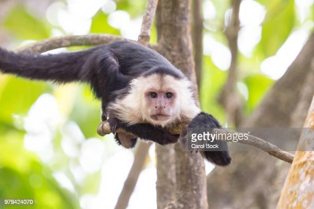 monkey laying on limb - mono capuchino fotografías e imágenes de stock