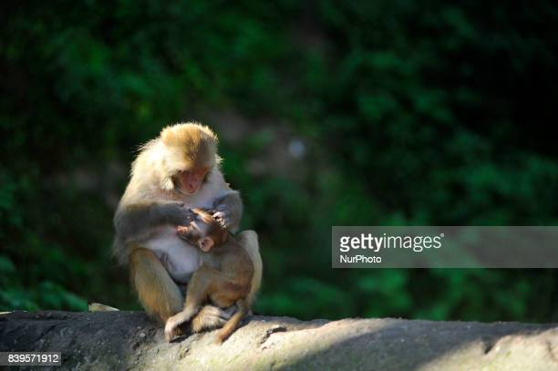 A monkey lice picking in a leisure at the premises of Pashupatinath Temple at Kathmandu Nepal on Saturday August 26 2017