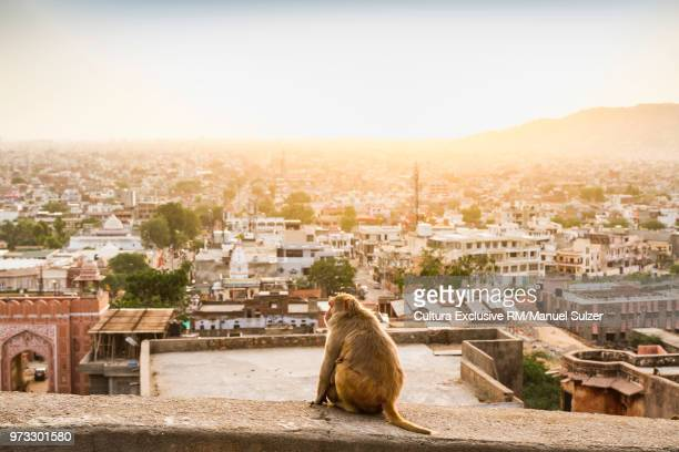Monkey looking at elevated view from sun temple, Jaipur, Rajasthan, India