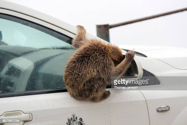 Monkey looking into a car side-view mirror, Gibraltar