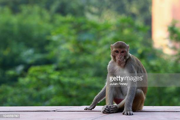 A monkey looks on outside the Taj Mahal on September 30 2010 in Agra India Completed in 1643 the mausoleum was built by th Mughal emperor Shah Jahan...