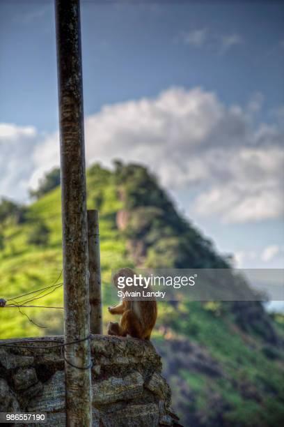 Monkey macaque Sri Lanka