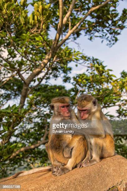monkey macaque sri lanka - lanka stock pictures, royalty-free photos & images