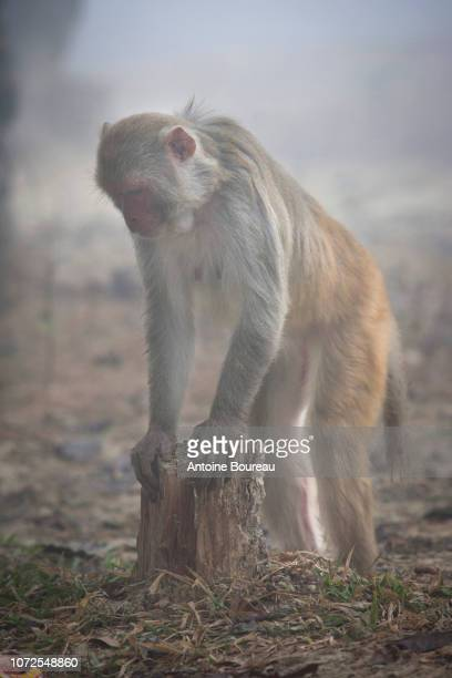 monkey macaque standing and arched in the mist on the site of lumbini, nepal - deforestation stock pictures, royalty-free photos & images