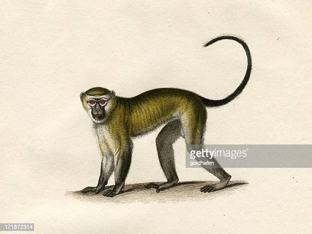 monkey »malbrouck« historic illustration 1834 - lithograph stock pictures, royalty-free photos & images