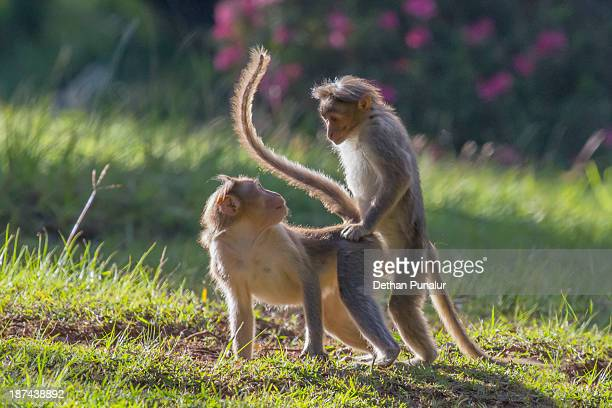 Monkey mating