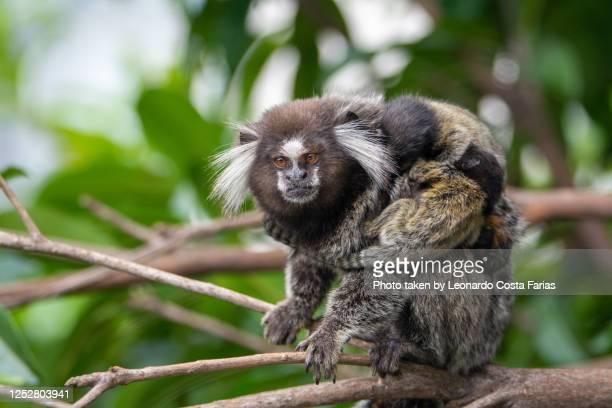 monkey mon and her three monkey cubs - leonardo costa farias - fotografias e filmes do acervo