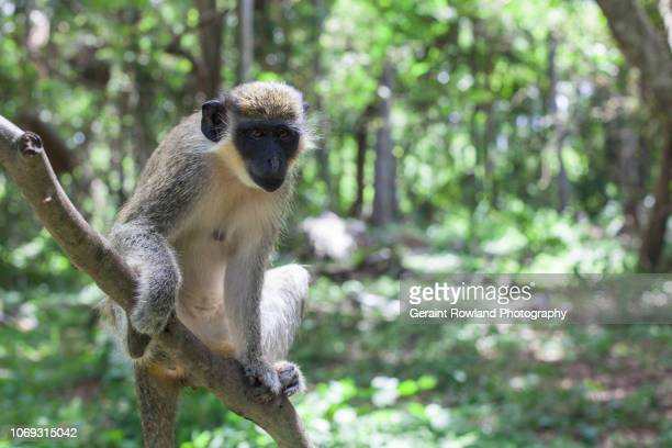 Monkey News, Africa