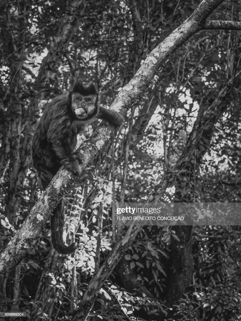 monkey of the species nail in the trees : Stock-Foto