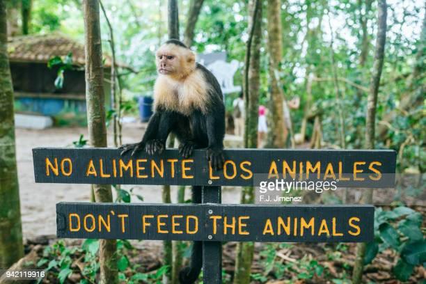 monkey on poster of don not feed animals in manuel antonio national park of costa rica - mono capuchino fotografías e imágenes de stock
