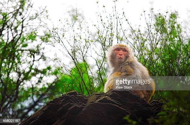 monkey on rock - 太行山脈 ストックフォトと画像