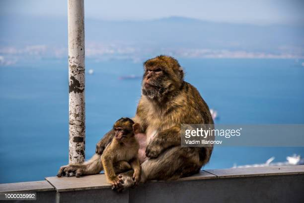 monkey on the rock of gibraltar - rock of gibraltar stock photos and pictures