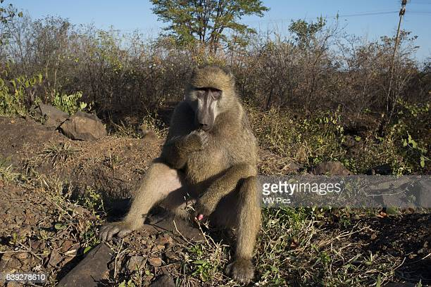 Monkey outdoor the rooms at Royal Livingstone Hotel Three types of monkey occur in Zambia The vervet monkey is very common throughout a variety of...