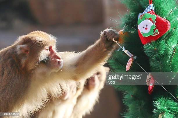 A monkey picks fruit from a Christmas tree decorated by Zhengzhou Zoo on December 22 2016 in Zhengzhou Henan Province of China The Zhengzhou Zoo...