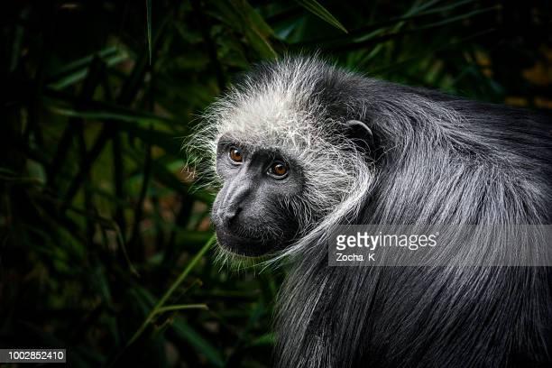 monkey portrait - king colobus - côte d'ivoire stock pictures, royalty-free photos & images