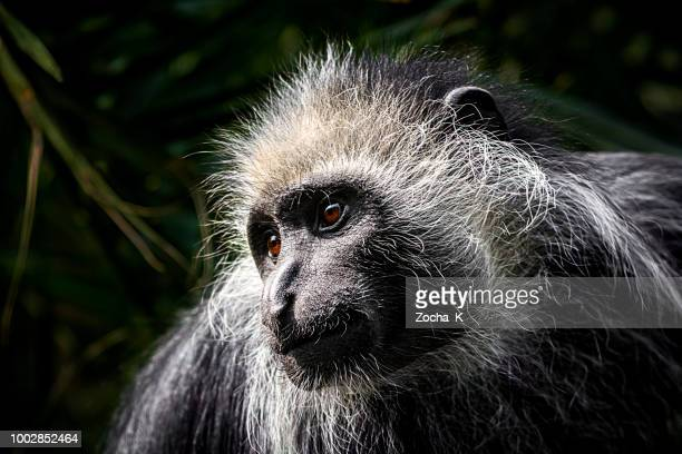 monkey portrait - king colobus - sierra leone stock pictures, royalty-free photos & images