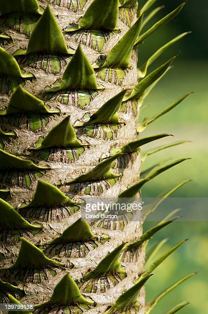 monkey puzzle tree - tree with thorns on trunk stock photos and pictures