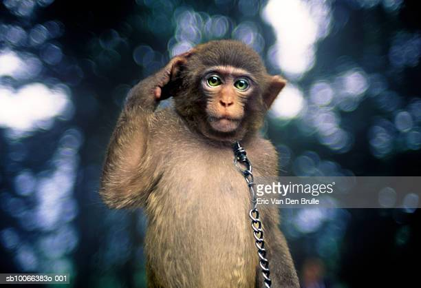 monkey scratching head, close-up - eric van den brulle stock pictures, royalty-free photos & images