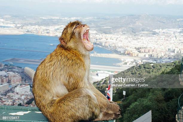 monkey shouting while sitting on wall with cityscape and sea in background - gibraltar stock pictures, royalty-free photos & images