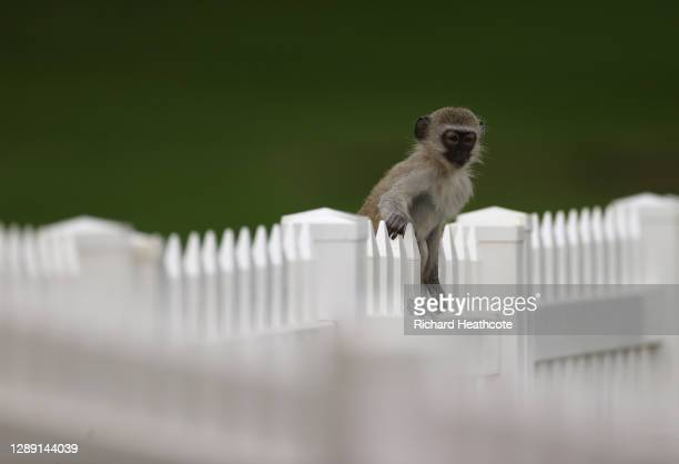 Monkey sits on a fence during Day One of the South African Open at Gary Player CC on December 03, 2020 in Sun City, South Africa.