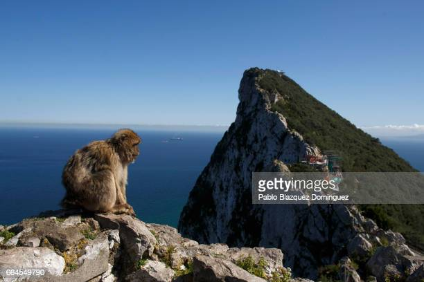 A monkey sits on a rock at the top of Gibraltar Rock on April 4 2017 in Gibraltar Gibraltar Tensions have risen over Brexit negotiations for the Rock...