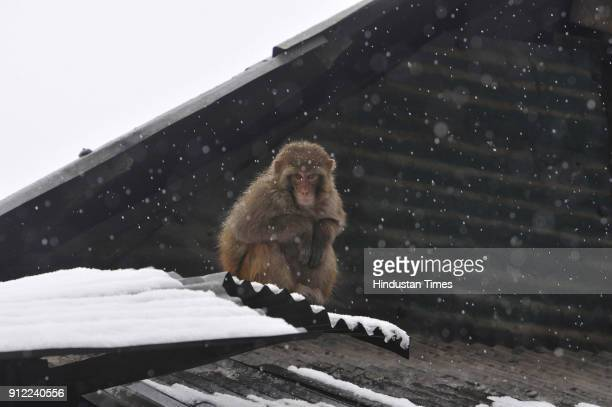 A monkey sits on a roof after fresh snowfall on January 30 2018 in Tangmarg some 40 kilometers north of Srinagar India The sevenweek dry spell ended...