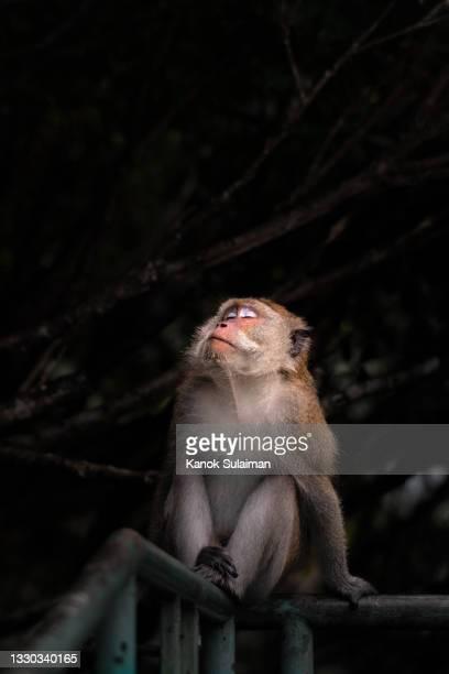 monkey sitting and sleeping - バーバリーマカク ストックフォトと画像