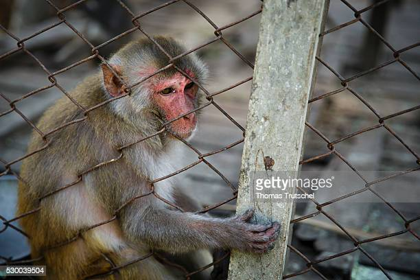 A monkey sitting in a Cage in Caramel Ecotourism Centre on April 12 2016 in Mongla Bangladesh