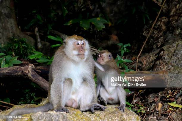 monkey sitting in a field - van dijk stock pictures, royalty-free photos & images