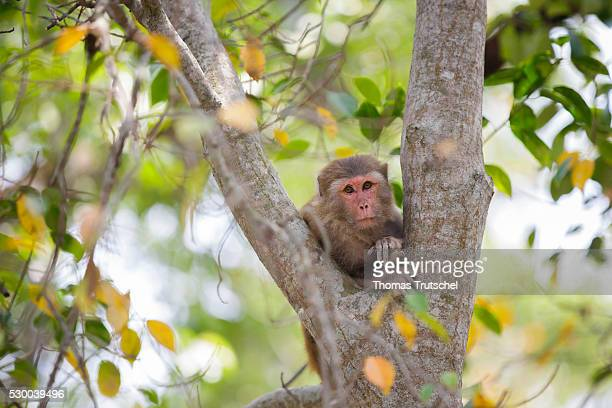 A monkey sitting in a tree in Caramel Ecotourism Centre on April 12 2016 in Mongla Bangladesh