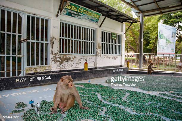 A monkey sitting in Caramel Ecotourism Centre on a map of Bangladesh on April 12 2016 in Mongla Bangladesh