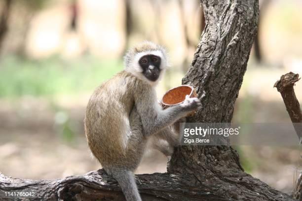 monkey sitting on a branch and eating coconut - linda rama fotografías e imágenes de stock