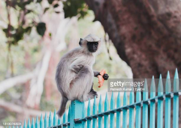 monkey sitting on a fence - ellora stock pictures, royalty-free photos & images