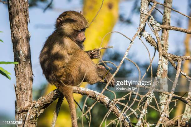 monkey sitting on branch - linda rama fotografías e imágenes de stock