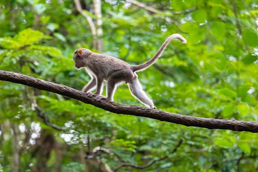 monkey sitting on tree branch in the dark tropical forest in the Sanjay Gandhi National Park Mumbai Maharashtra India. 1184133831