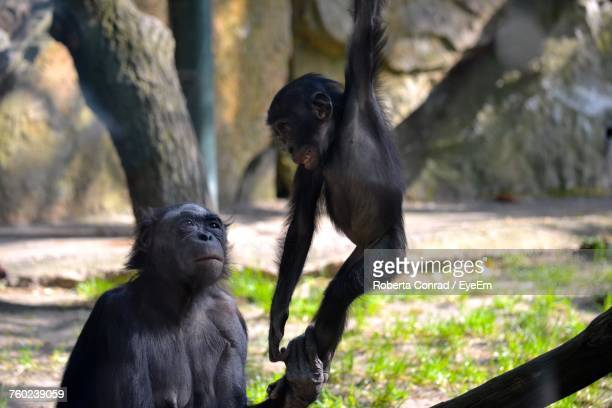 monkey sitting on tree - berlin zoo stock pictures, royalty-free photos & images
