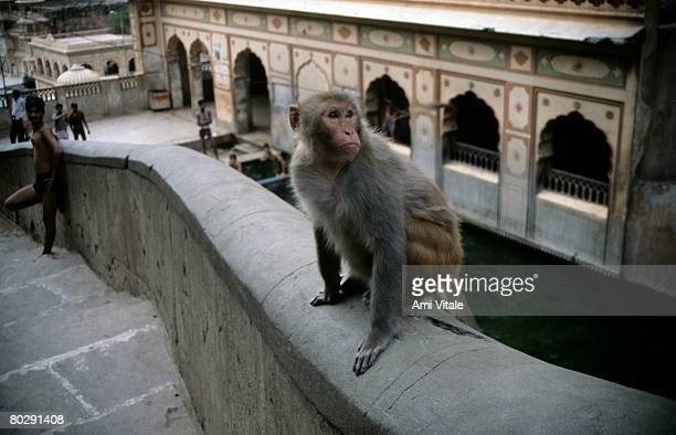 Monkey sitting on wall at temple near Jaipur, India