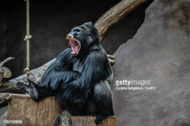 monkey sitting on wood in zoo - chimpanzee teeth stock pictures, royalty-free photos & images