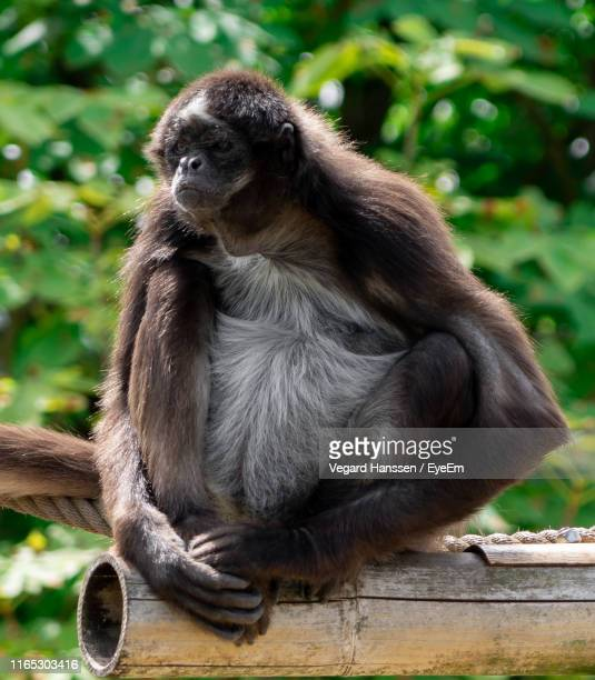 monkey sitting on wood - vegard hanssen stock pictures, royalty-free photos & images