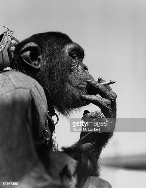 monkey smoking cigarette - vertebrato foto e immagini stock