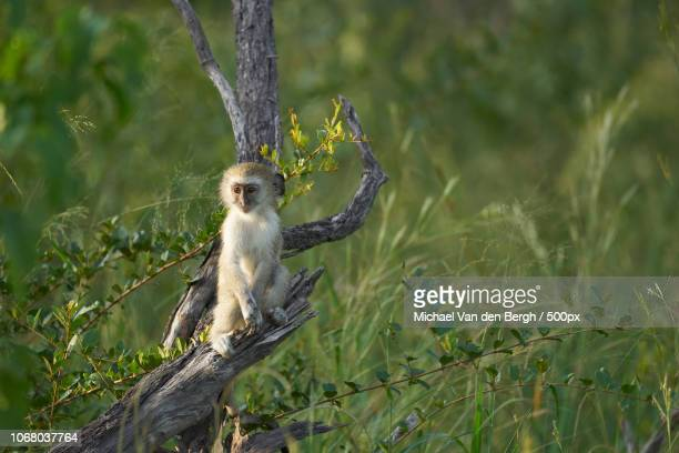 monkey standing on tree branch - moremi wildlife reserve stock photos and pictures