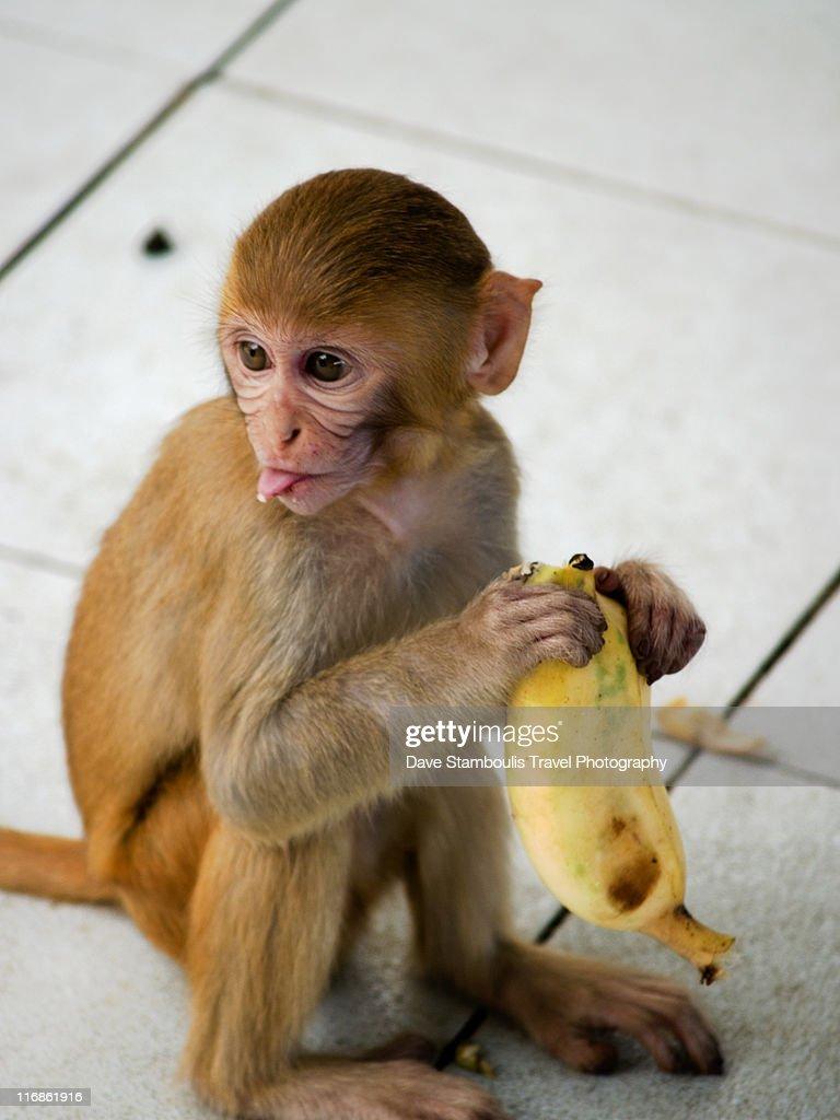 Monkey at Mount Popa Temple, Bagan, Myanmar.