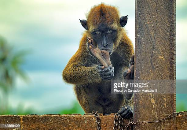 monkey sucking its toe - sucking stock photos and pictures